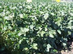El boom de la soja en Uruguay