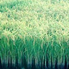 Falta de agua reduciría siembra de arroz para esta zafra