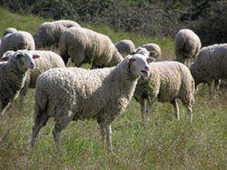 Récord en faenas ovinas