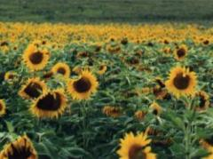 Crecen cultivos de verano