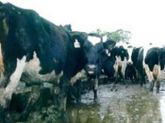 Nuevo aumento en precio de la leche para productores