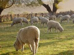 Año positivo para el ovino