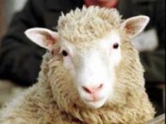 Baja el stock de ovinos