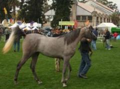 Remate de caballos árabes