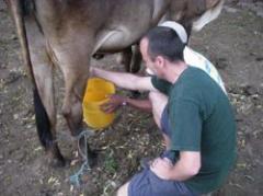 Caerá producción de leche