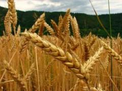 Problemas para colocar trigo