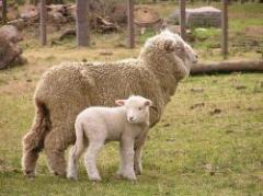 Buen momento para el negocio ovino
