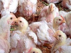 Uruguay importará pollo brasileño (audio)
