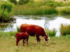 Prevén fuerte caída del stock bovino