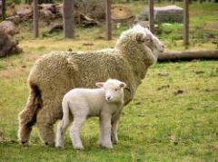 Buenas perspectivas para el ovino