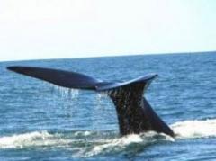 Pugna por caza de ballenas puede causar muertos