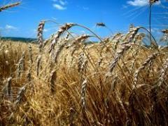 Importante cantidad de stock de trigo remanente