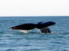 La ballena franca en extinción