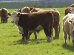 ¿Hay que limitar o prohibir la exportación de ganado en pie?