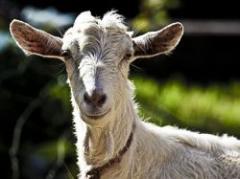 Cabras uruguayas poseen virus similar al VIH humano