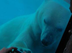Murió por el calor el último oso polar del zoo de Buenos Aires