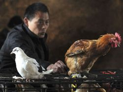 La cepa de gripe aviar H7N9 puede infectar a humanos