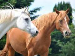 La Tertulia Agropecuaria: el rubro equino, un negocio que une el afecto por los caballos y sus valores comerciales
