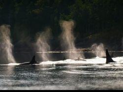 Documental sobre orca que mató a su entrenadora