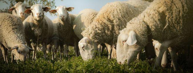 La Tertulia Agropecuaria analiza la producción de carne ovina, un sector con mucho potencial