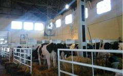 ¿Por qué en el pabellón de ganado lechero en la Expo Prado, los animales tienen ventiladores y alfombras de goma para desplazarse?