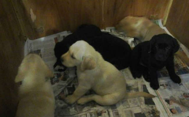 Hace poco se entregaron los primeros cachorros para ser entrenados como perros guía de personas no videntes