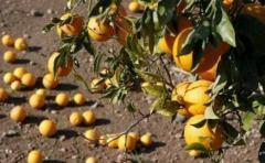 Desarrollan biocombustible a partir de naranjas