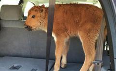 Sacrifican a una cría de bisonte por culpa de dos turistas