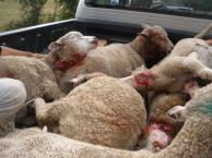 """Rubro ovino: """"el 70% de los corderos que se murieron el año pasado fue por depredadores"""""""