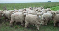 Procuran más recursos para el rubro ovino