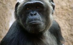 Los chimpancés transmiten el virus del SIDA a los humanos