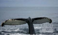 Descubren una nueva especie de ballena