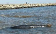 Murió la ballena que estaba varada en el puerto del Buceo