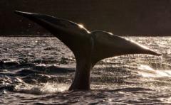 Ballenas se encuentran en peligro por buques cargueros