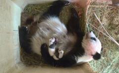 China lamenta que pandas ya no sean una especie en peligro