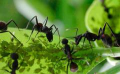 Las hormigas cultivaban plantas antes que los humanos