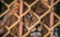 El león Tito murió por sobredosis de anestesia