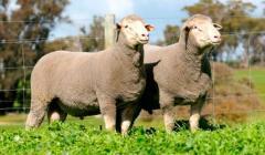 Merino Dohne: una raza versátil para carne y lana