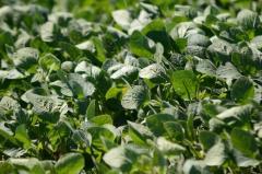 En Rocha la soja pasaría de 1.800 a 2.500 kg/há