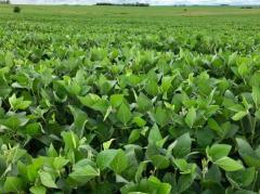Soja: bajo los efectos del clima, costos y precios
