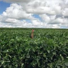 Soja: Uruguay puede  superar los 3 millones de toneladas