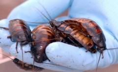 Estudio revela táctica para ahuyentar a las cucarachas