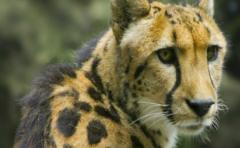 La carrera para salvar al guepardo de su extinción