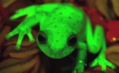 Descubren primer caso de fluorescencia en ranas en Argentina