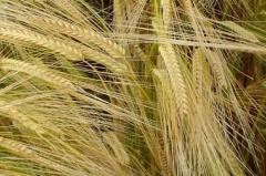 Uruguay busca colocar excedente de 200.000 toneladas de cebada