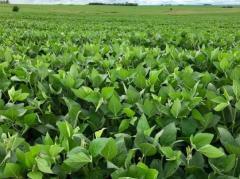 ADP presenta tres nuevas semillas en soja para próxima campaña
