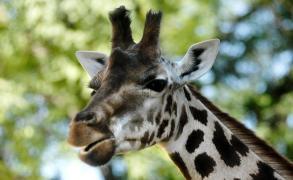 Murió la única jirafa del zoológico de Villa Dolores
