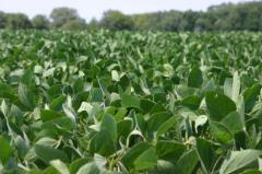 Ya se comercializó el 40% de la producción de soja