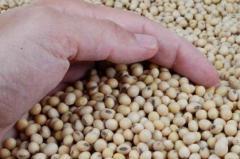 Mayor producción de soja provoca baja en el precio