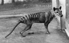 Comienza la búsqueda del extinto Tigre de Tasmania